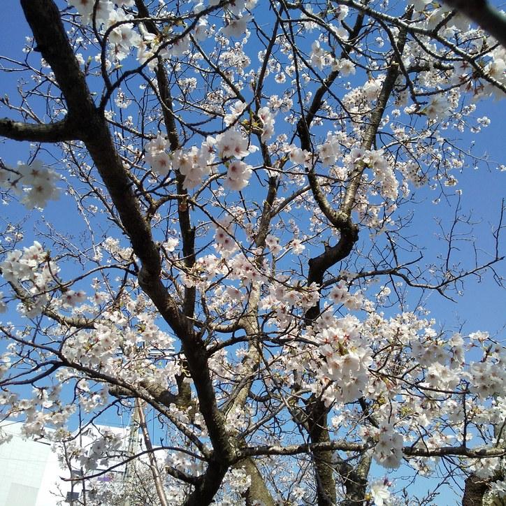 当店前の堀川の桜咲く~。