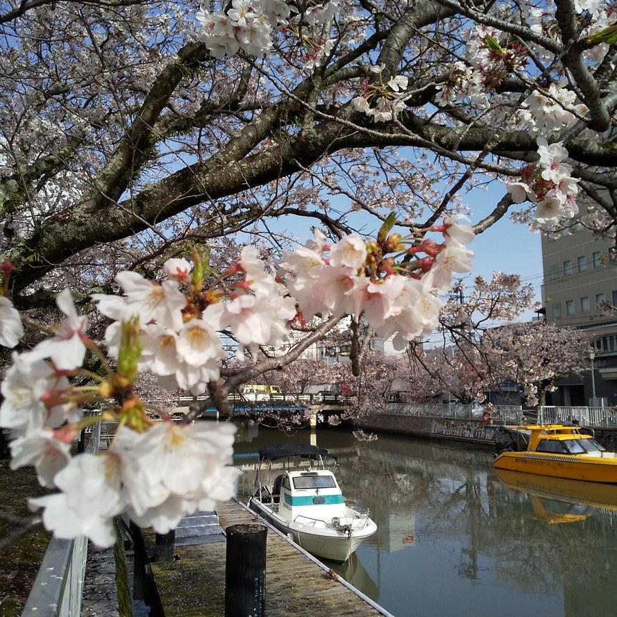 毎度、堀川桜の発信ですみません・・。