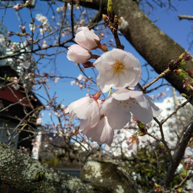 当店前の堀川の桜もついに開花しました!!