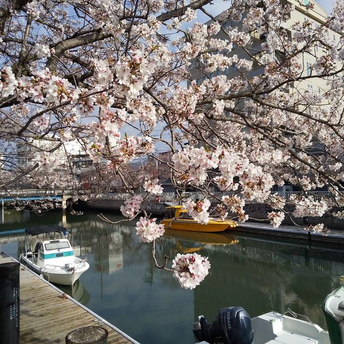 当店前の堀川桜並木は、ほぼ満開です。