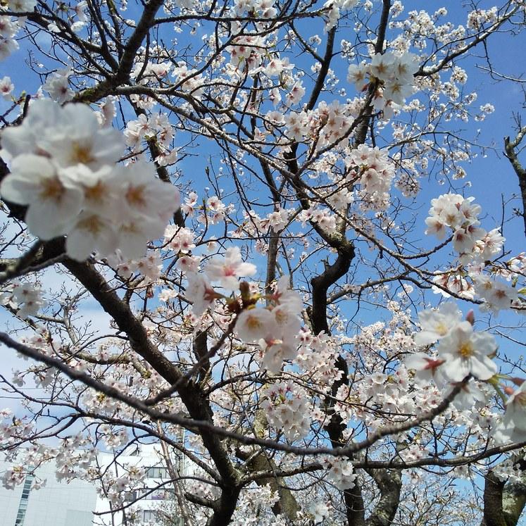 今日も堀川前の桜をご案内です。