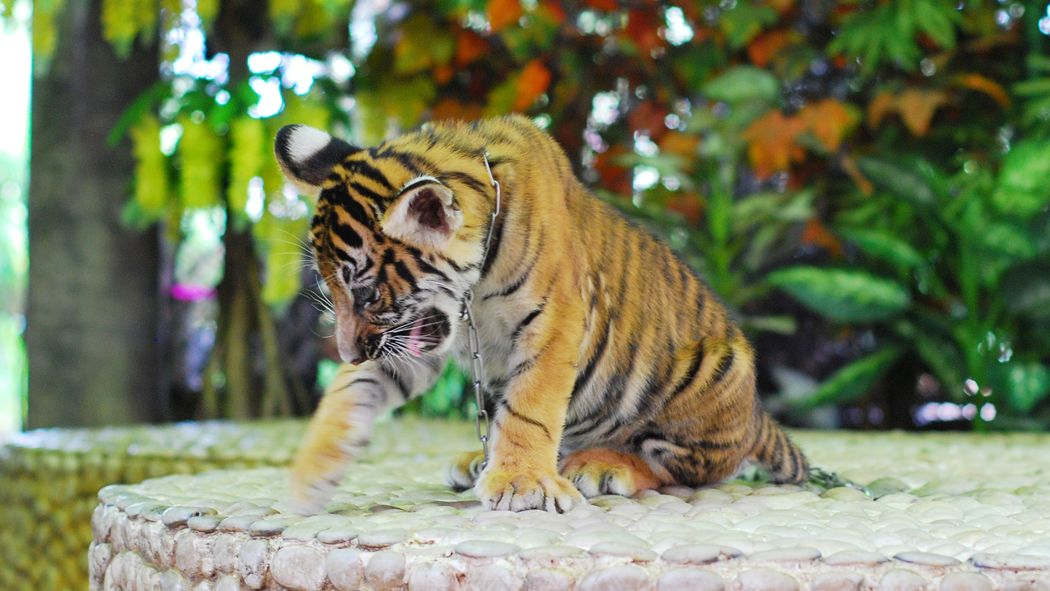 A tiger cub chained by its neck. This cub will either be sold as a pet or used for money making photo opportunities with tourists.