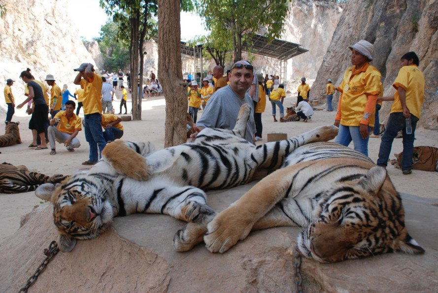 "The infamous ""Tiger Temple"" where tigers are drugged so they can pose for pictures with tourists"