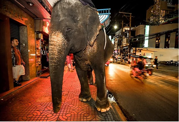 A street begging elephant, forced to perform tricks and beg for food and money for its Mahout