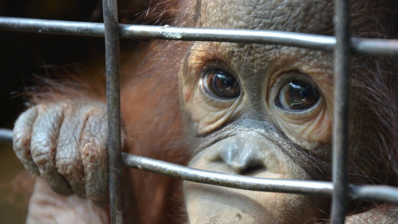 An Orangutan kept in a small cage without proper care, food, and water