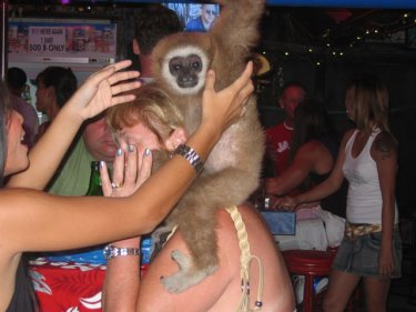 A Gibbon being used for photo opportunities by tourists in a bar in Patong, Phuket