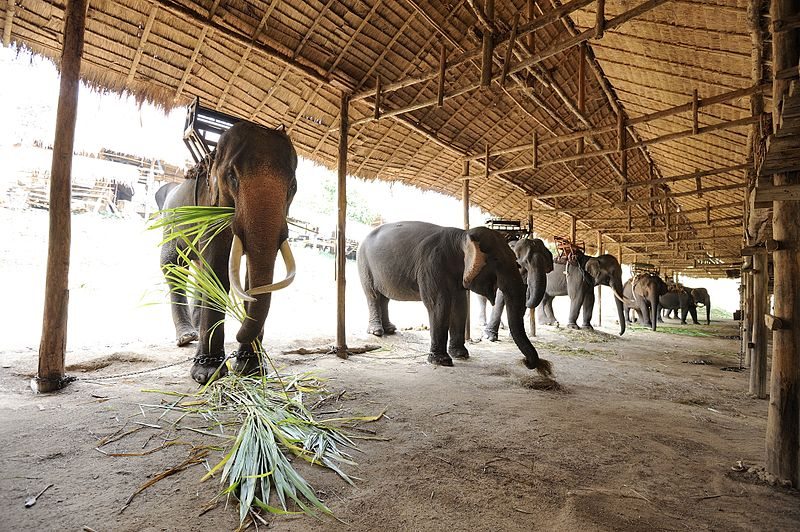Thai Elephants in a Conservation Center