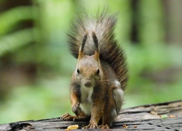 Ezo Squirre