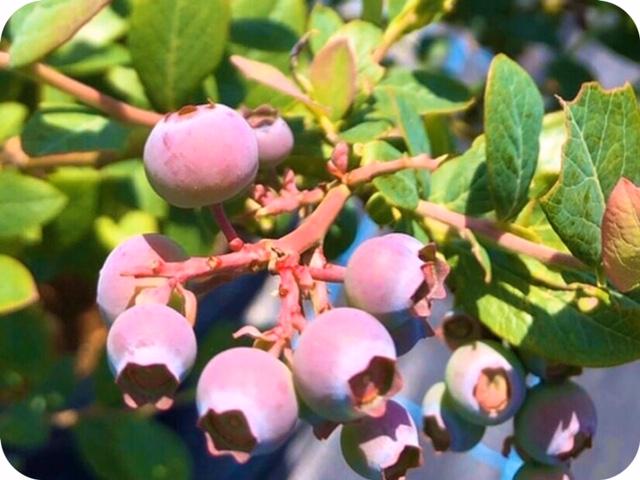 夏が旬のブルーベリー。めちゃ美味しそう!