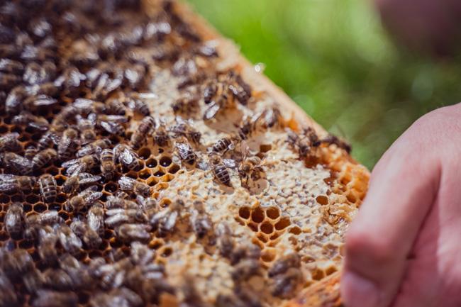 Bienenwabe der Imkerei Fließgold