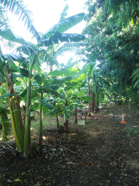 El museo de banano