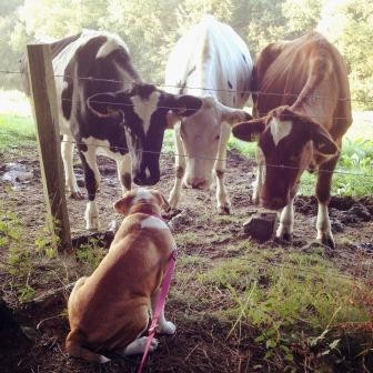 Continental Bulldog und Kühe