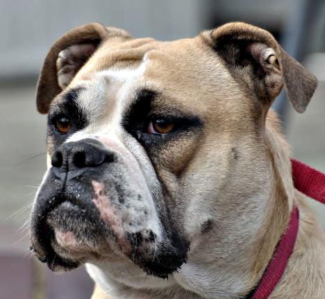 Continental Bulldog Hündin Hilton Welpen