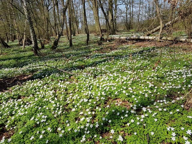 Im April blühen die Buschwindröschen im Hainholz Naturwald.