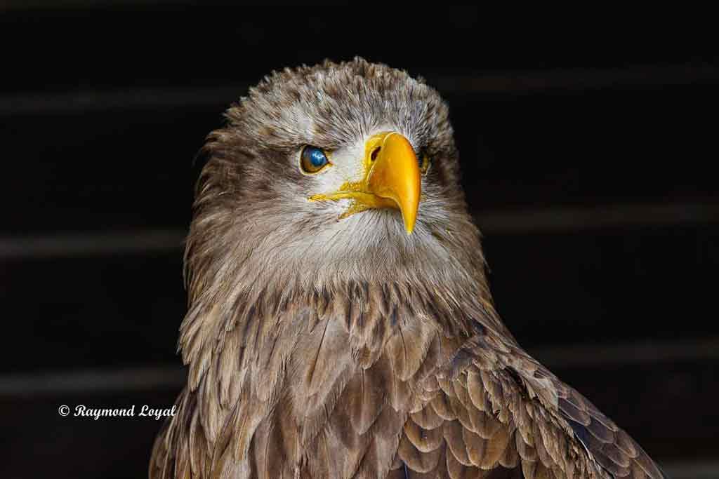 white-tailed eagle bird portrait