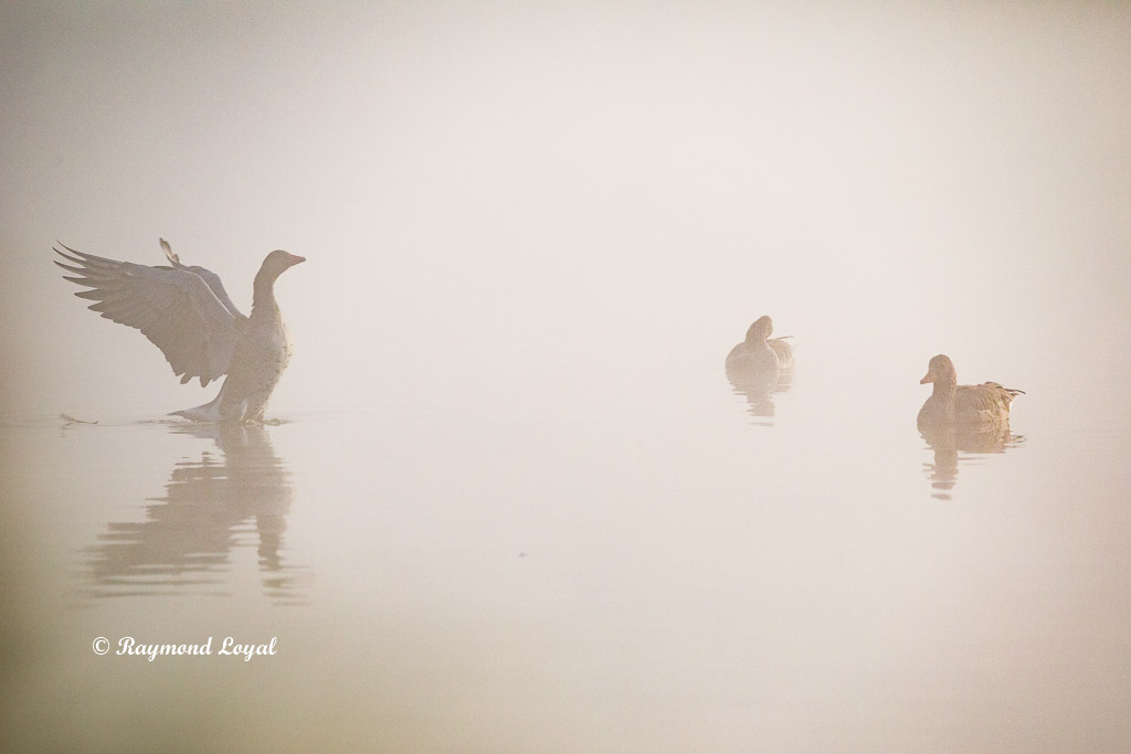 greaylag geese morning mist