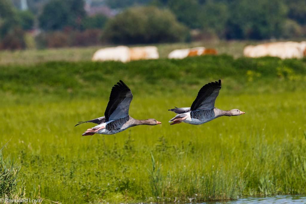 greylag goose anser anser bird flying