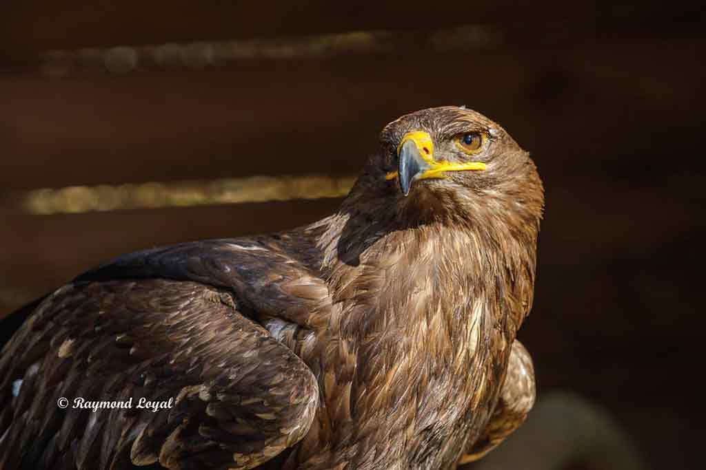 schelladler vogel portrait