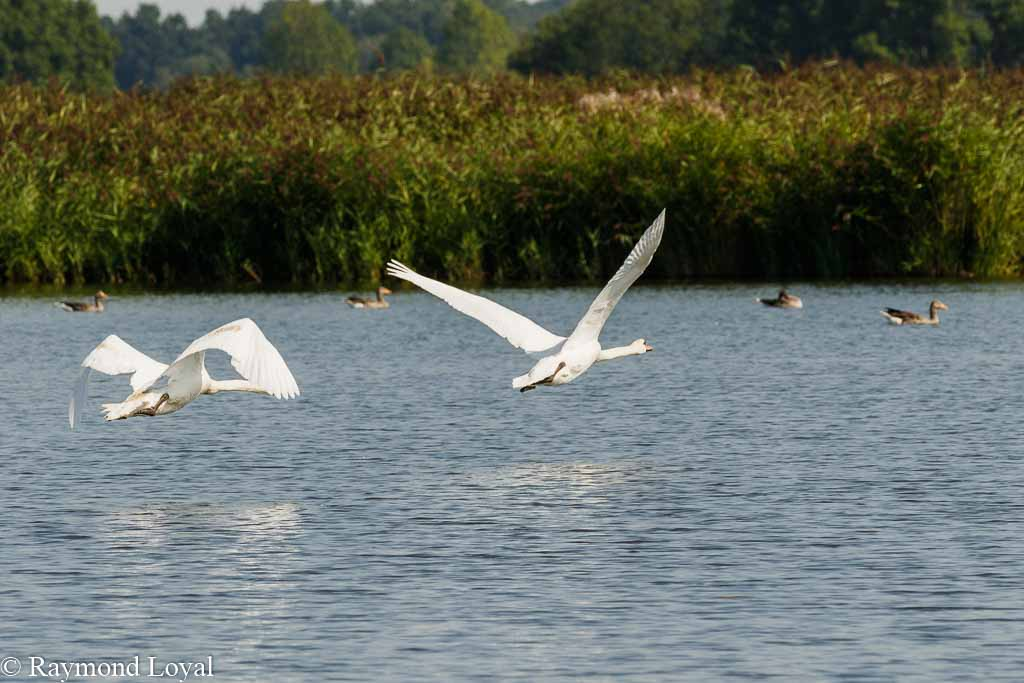 hoeckerschwaene fliegen see