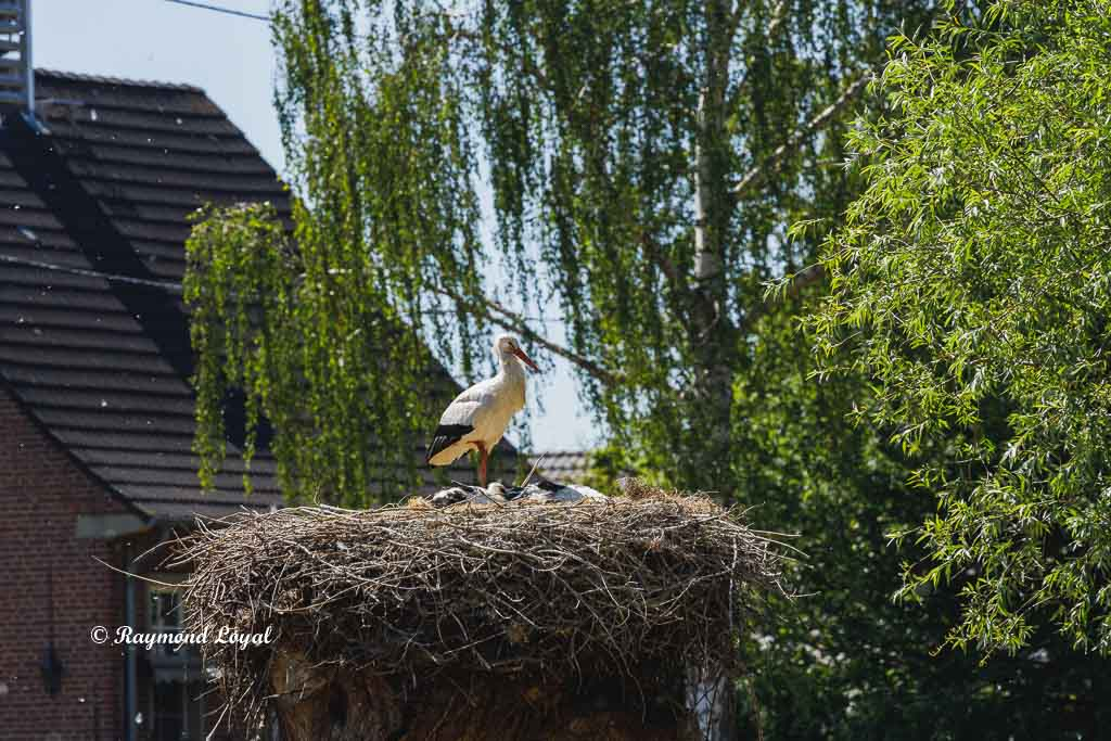 weiss storch nest baum