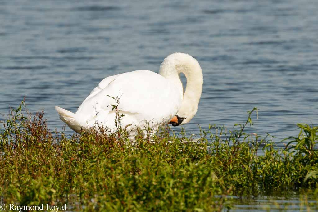 hoeckerschwan cygnus olor