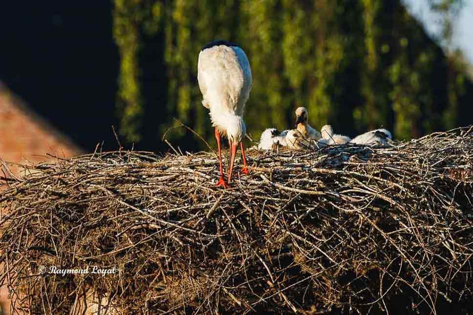 weiss storch nest