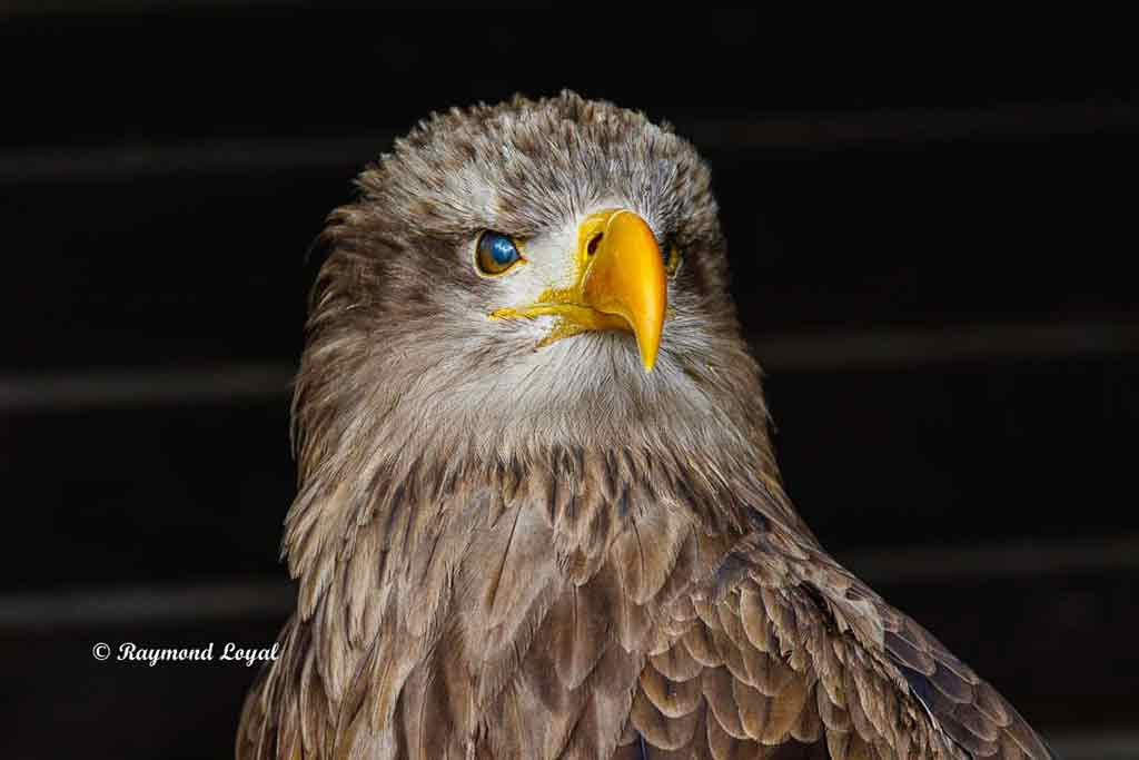 seeadler vogel portrait