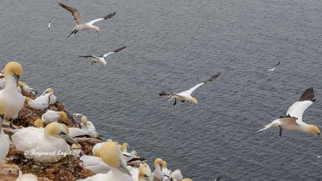 Gannets - Breeding
