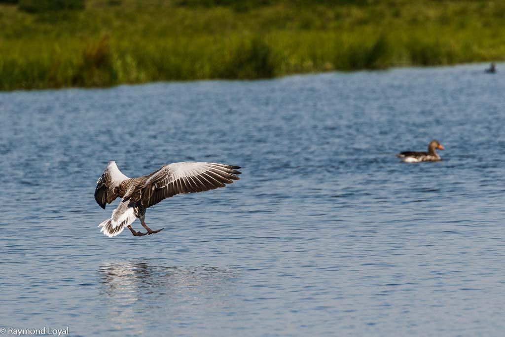 greylag goose anser anser flight over water