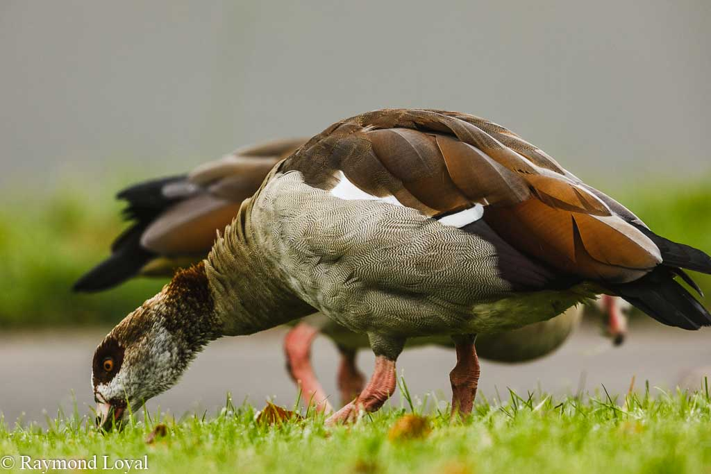 aegyptian goose alopochen aegpytiacus feeding on green grass