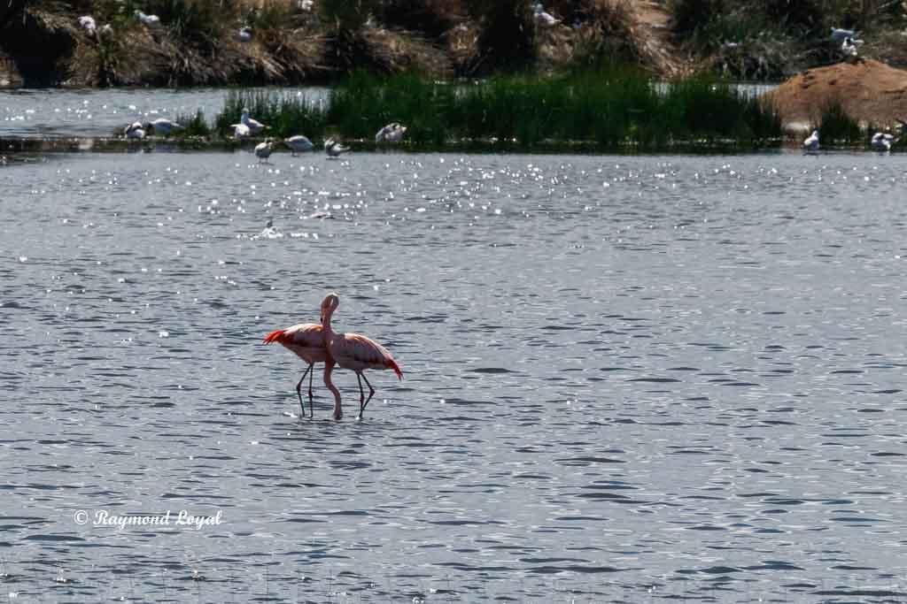 rosaflamingo vogel portrait