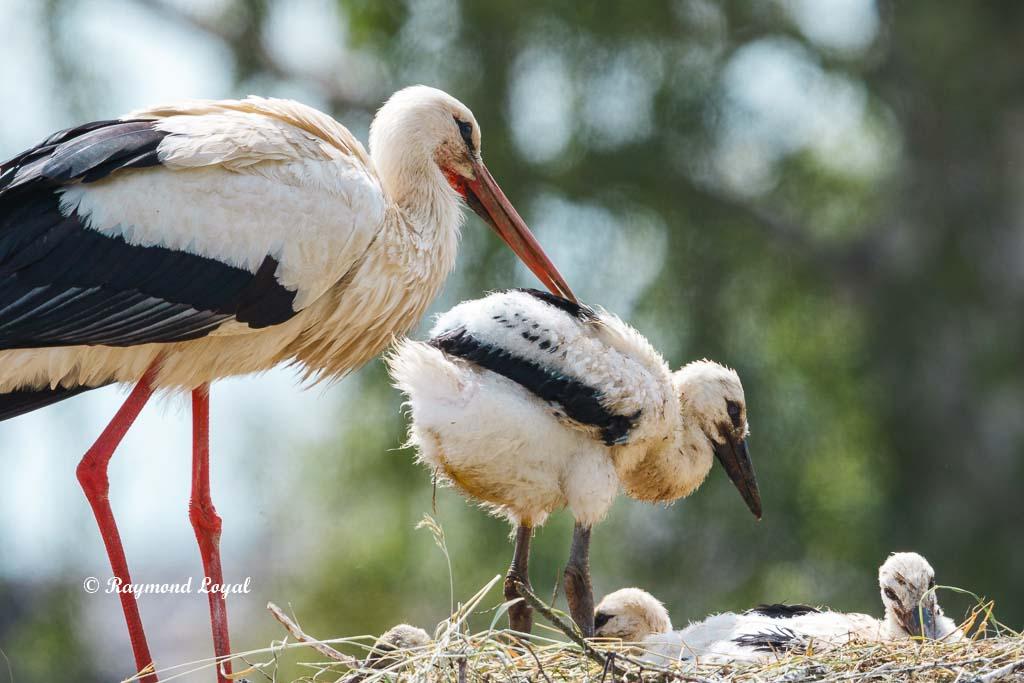 weiss storch nest jungvogel