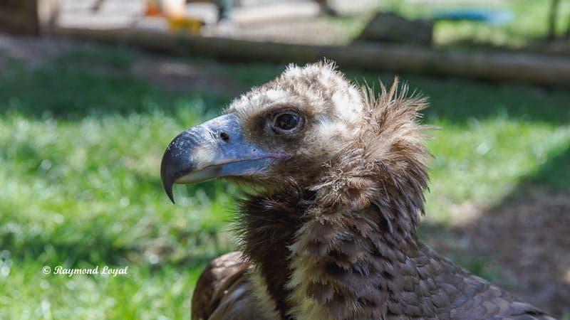 moenchsgeier vogel portrait greifvogelstation hellenthal