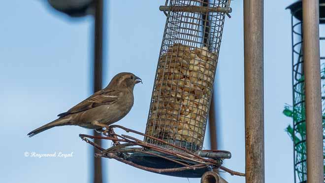 femals house sparrow