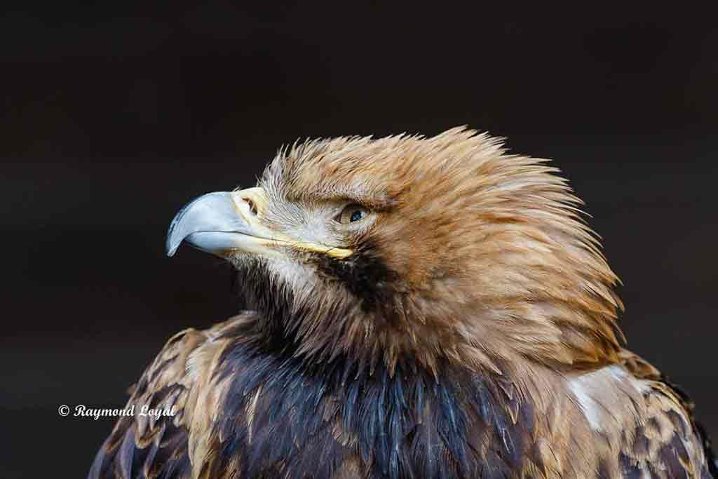 imperial eagle bird portrait