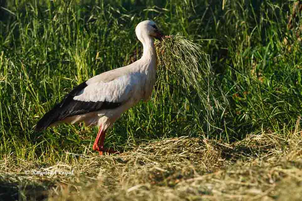 weiss storch nitst material