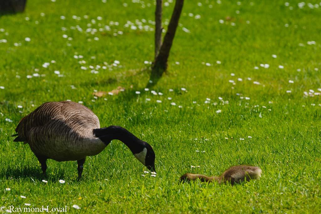 canada goose branta canadensis birds green grass