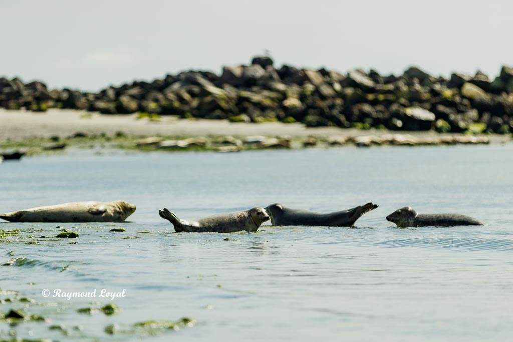helgoland seal photo