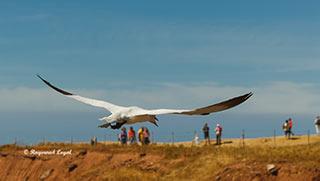 basstoelpel vogel flug