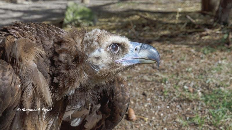 moenchsgeier vogel portrait