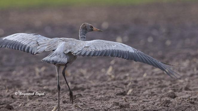 grauer kranich vogel feld