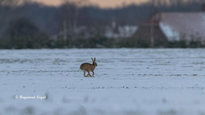 hase in wiese