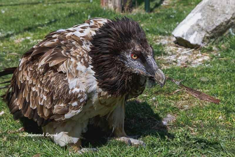 bartgeier vogel portrait
