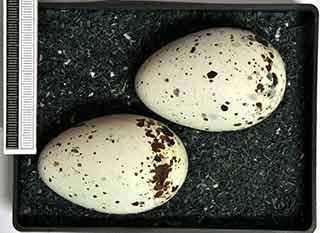 black guillemot egg