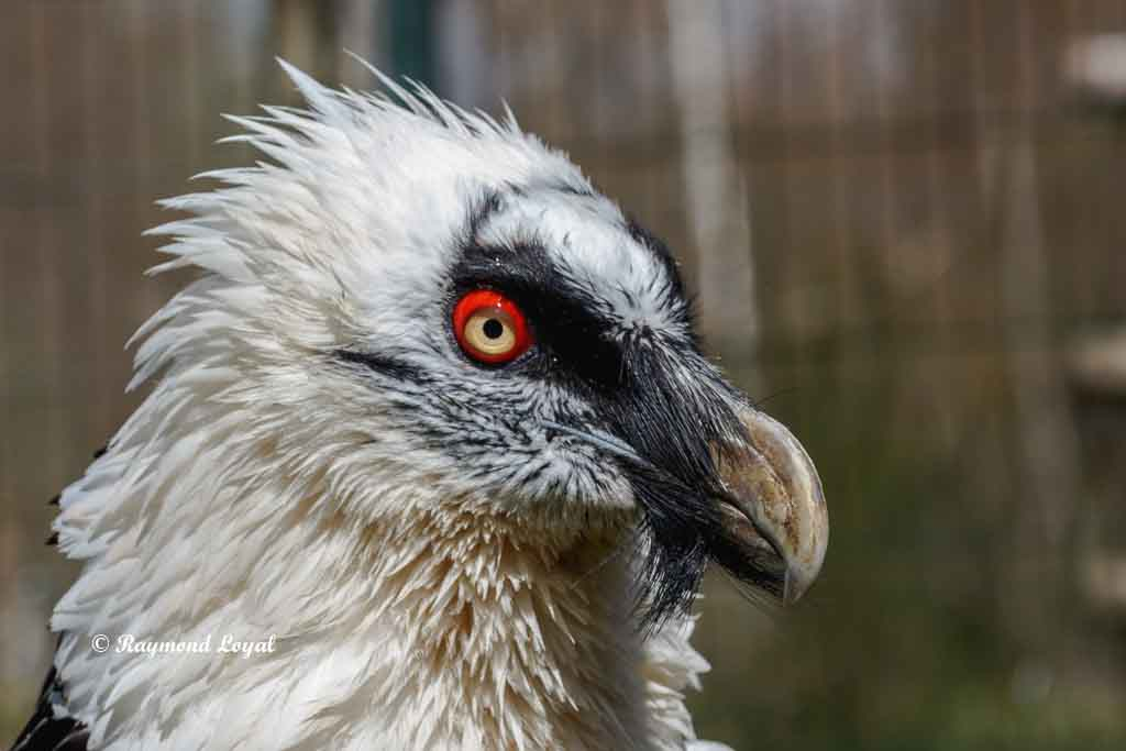 bearded vulture portrait