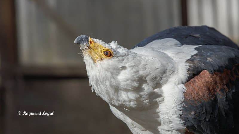 schreiseeadler vogel portrait greifvogelstation hellenthal