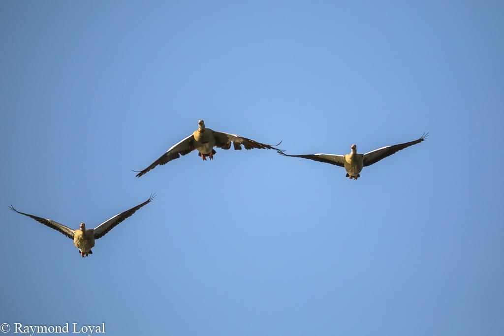 aegyptian goose alopochen aegytptiacus birds in flight
