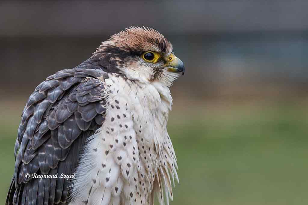 lanner falcon bird portrait