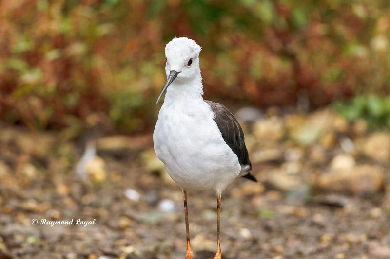 stelzenlaeufer watvogel  himantopus himantopus