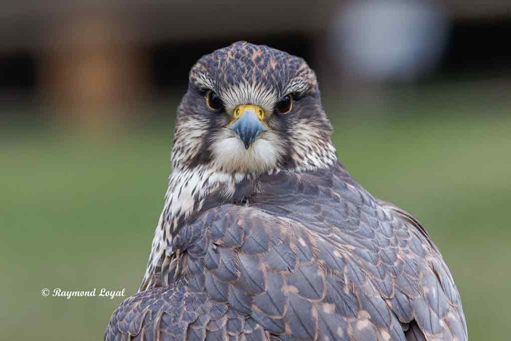 saker falcon bird portrait